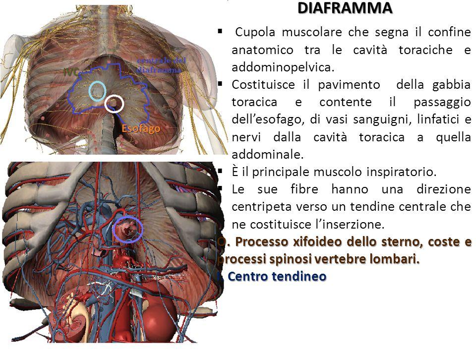 DIAFRAMMA Cupola muscolare che segna il confine anatomico tra le cavità toraciche e addominopelvica.