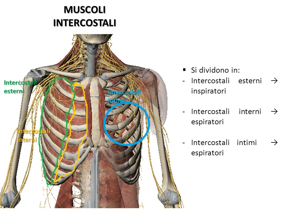 MUSCOLI INTERCOSTALI Si dividono in:
