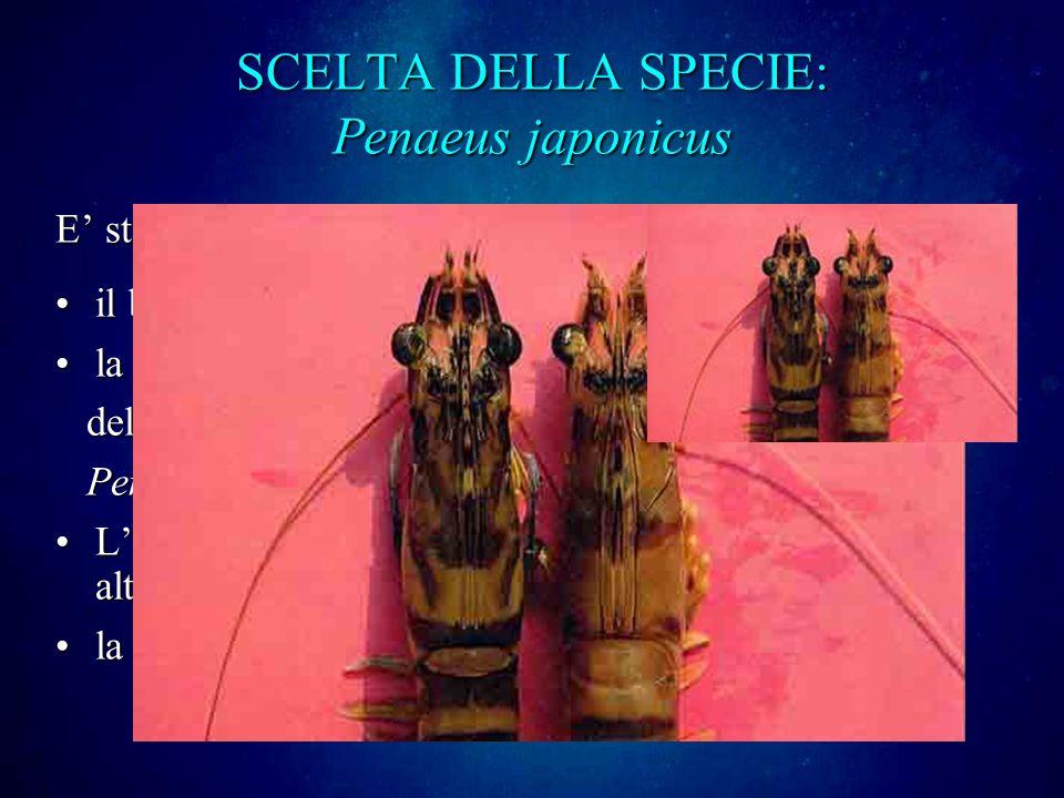 SCELTA DELLA SPECIE: Penaeus japonicus