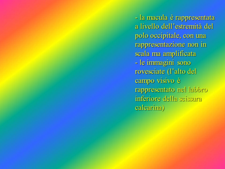 - la macula è rappresentata a livello dell'estremità del polo occipitale, con una rappresentazione non in scala ma amplificata