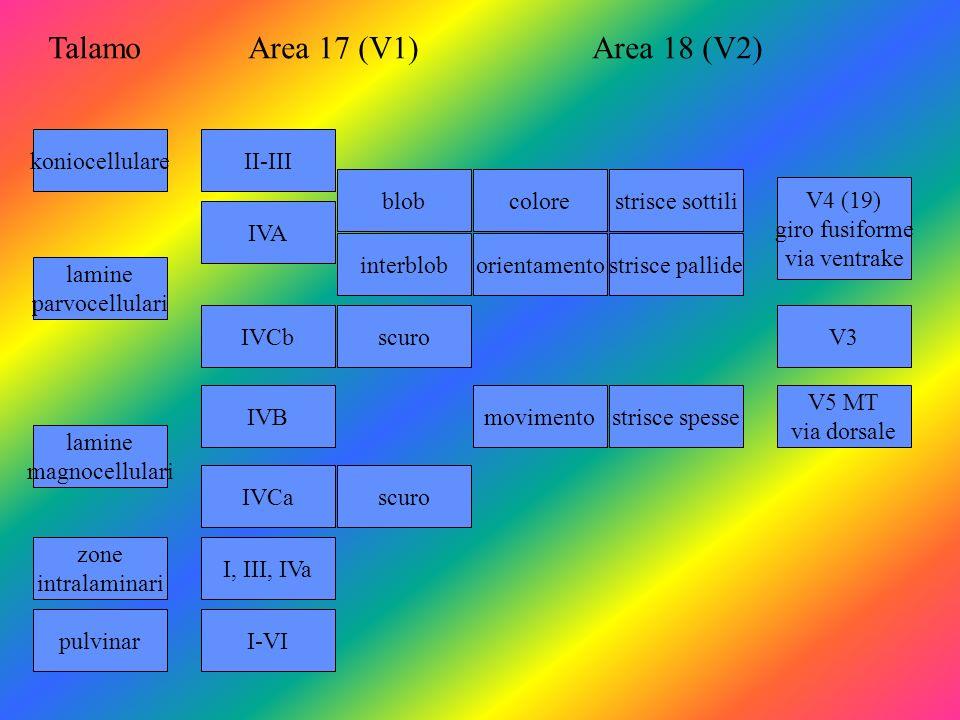 Talamo Area 17 (V1) Area 18 (V2) koniocellulare II-III blob colore