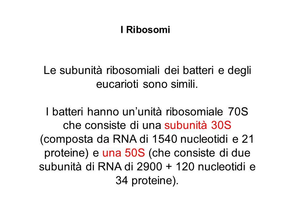 Le subunità ribosomiali dei batteri e degli eucarioti sono simili.