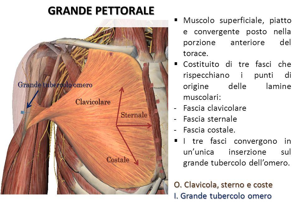 GRANDE PETTORALE Muscolo superficiale, piatto e convergente posto nella porzione anteriore del torace.