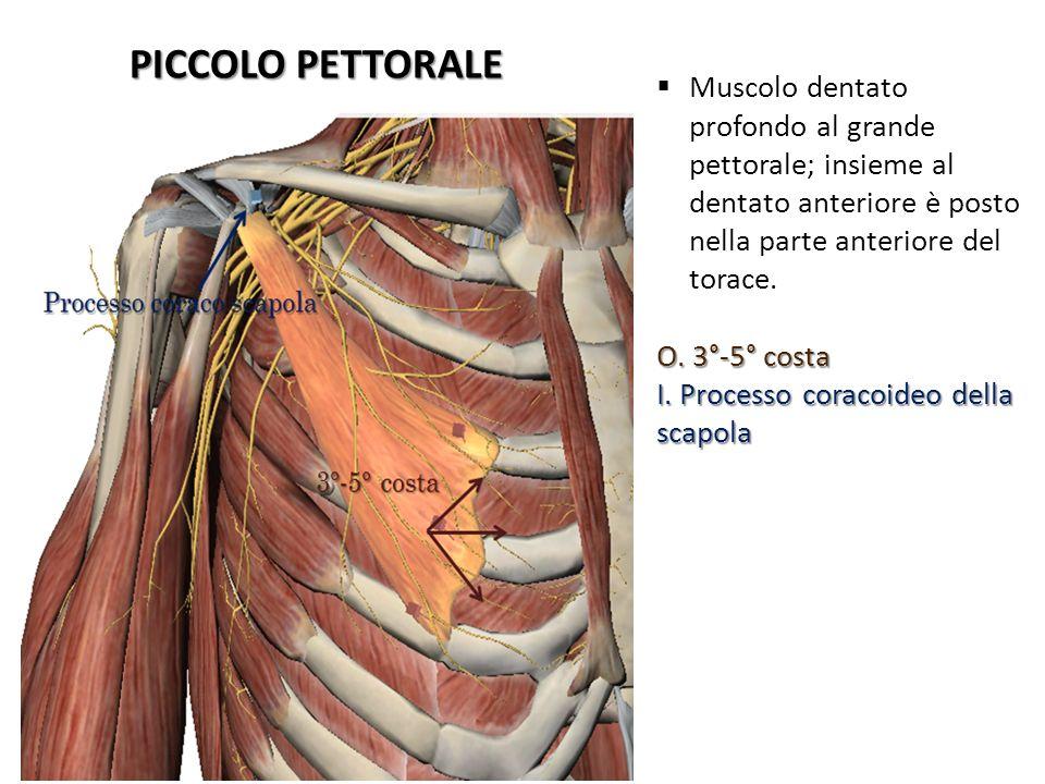 PICCOLO PETTORALE Muscolo dentato profondo al grande pettorale; insieme al dentato anteriore è posto nella parte anteriore del torace.