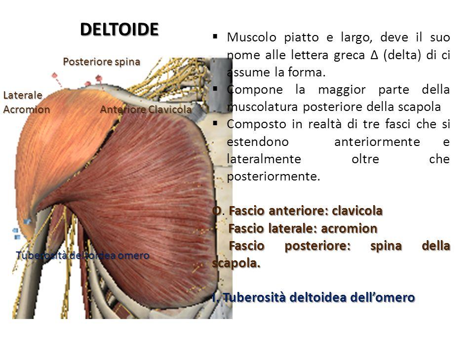 DELTOIDE Muscolo piatto e largo, deve il suo nome alle lettera greca Δ (delta) di ci assume la forma.