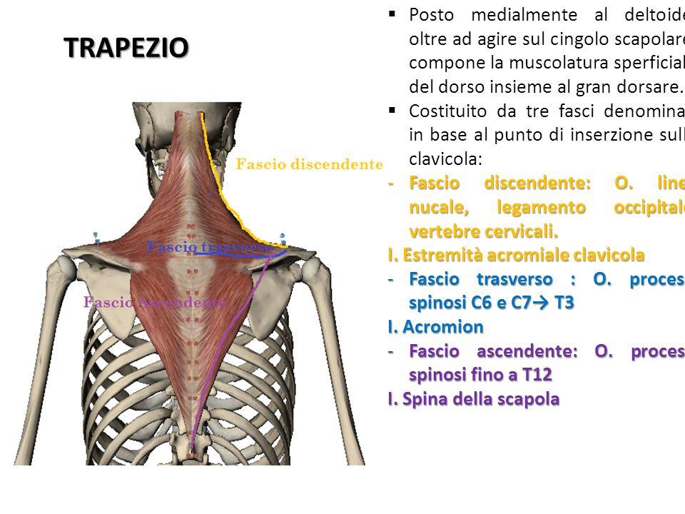 Posto medialmente al deltoide, oltre ad agire sul cingolo scapolare, compone la muscolatura sperficiale del dorso insieme al gran dorsare.