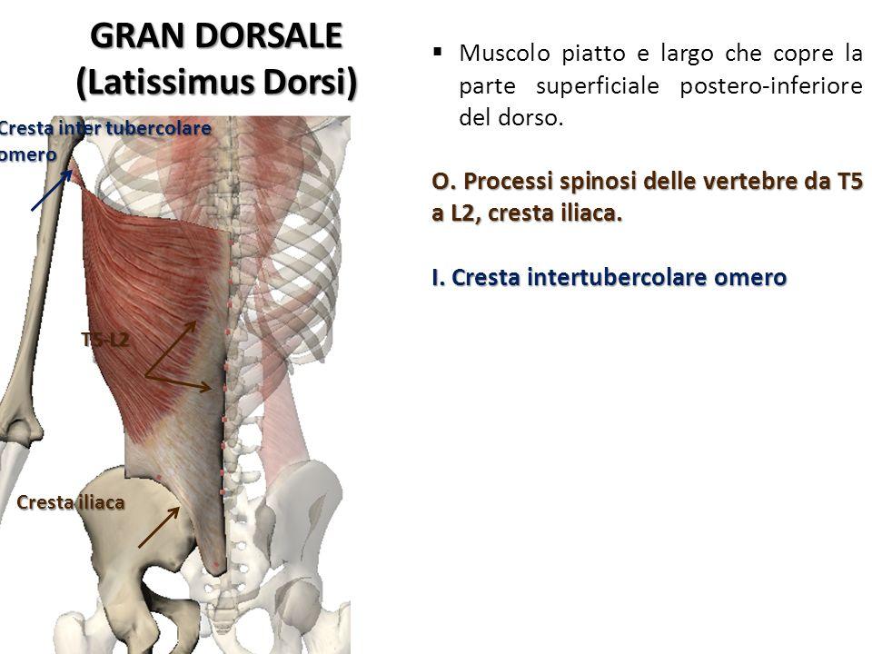 GRAN DORSALE (Latissimus Dorsi)