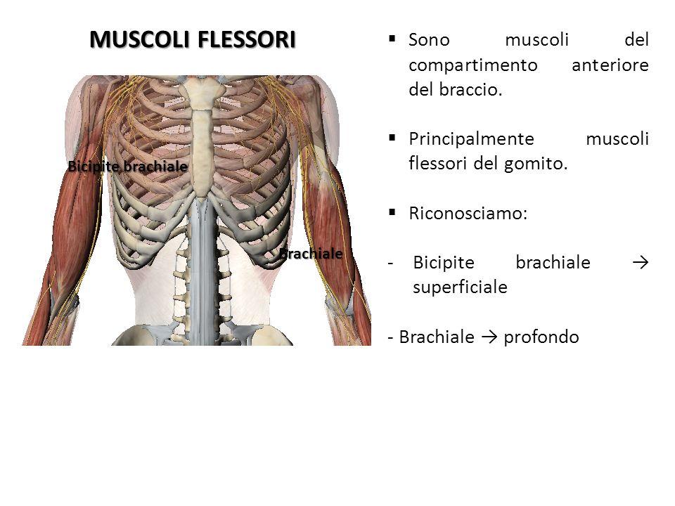 MUSCOLI FLESSORI Sono muscoli del compartimento anteriore del braccio.