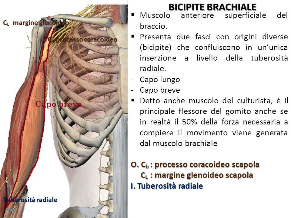 BICIPITE BRACHIALE Muscolo anteriore superficiale del braccio.