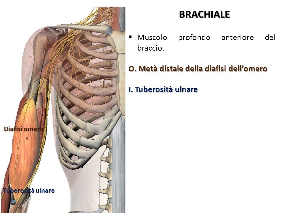 BRACHIALE Muscolo profondo anteriore del braccio.