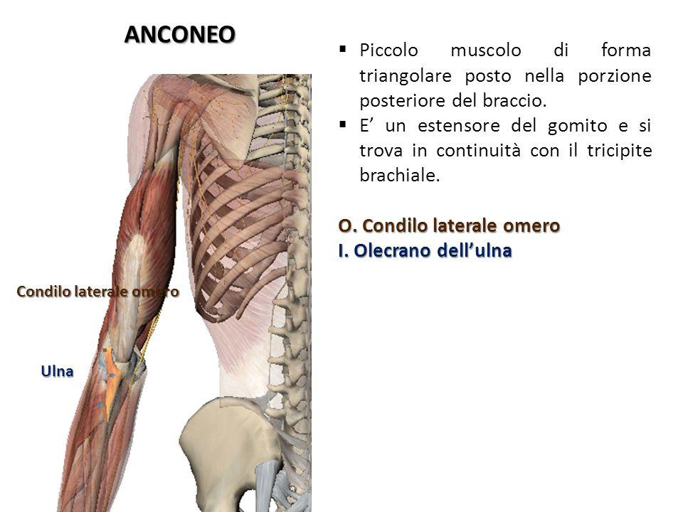ANCONEO Piccolo muscolo di forma triangolare posto nella porzione posteriore del braccio.