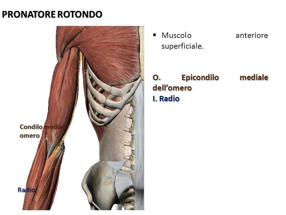 PRONATORE ROTONDO Muscolo anteriore superficiale.
