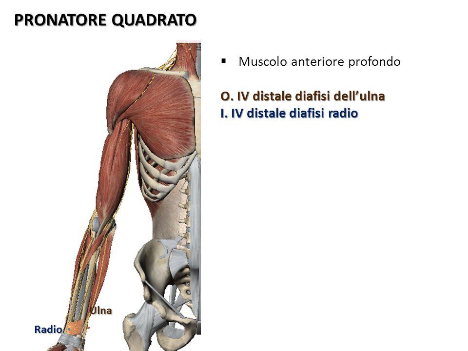 PRONATORE QUADRATO Muscolo anteriore profondo