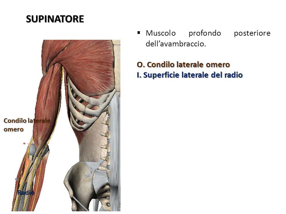 SUPINATORE Muscolo profondo posteriore dell'avambraccio.