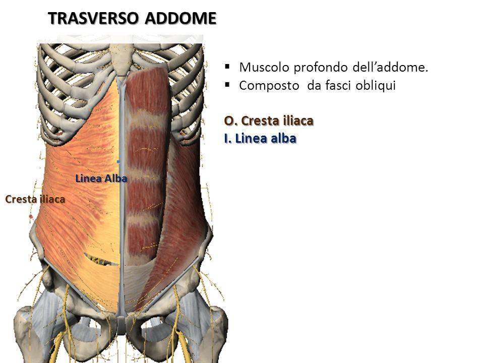 TRASVERSO ADDOME Muscolo profondo dell'addome.