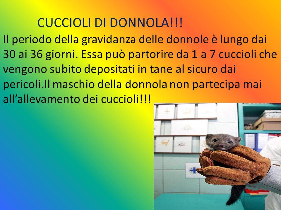 CUCCIOLI DI DONNOLA!!!