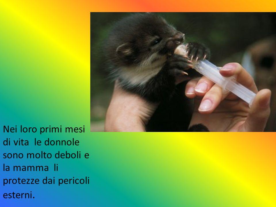Nei loro primi mesi di vita le donnole sono molto deboli e la mamma li protezze dai pericoli esterni.