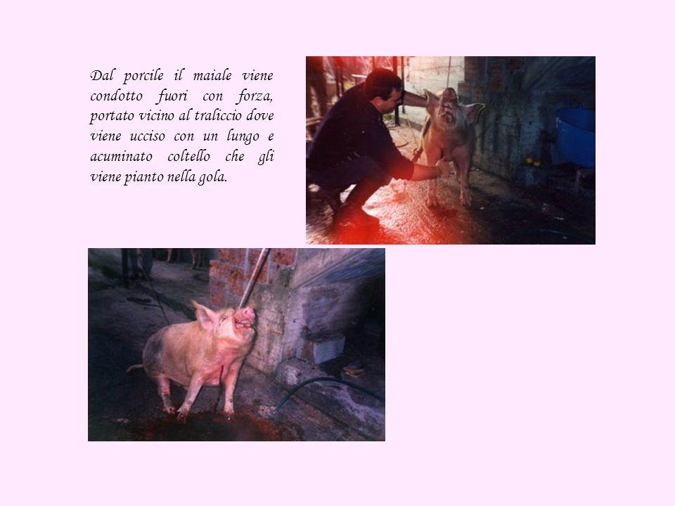 Dal porcile il maiale viene condotto fuori con forza, portato vicino al traliccio dove viene ucciso con un lungo e acuminato coltello che gli viene pianto nella gola.