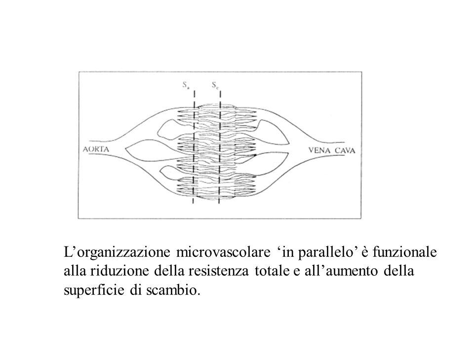 L'organizzazione microvascolare 'in parallelo' è funzionale