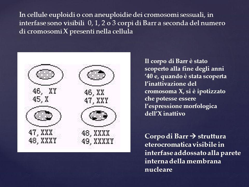 In cellule euploidi o con aneuploidie dei cromosomi sessuali, in interfase sono visibili 0, 1, 2 o 3 corpi di Barr a seconda del numero di cromosomi X presenti nella cellula