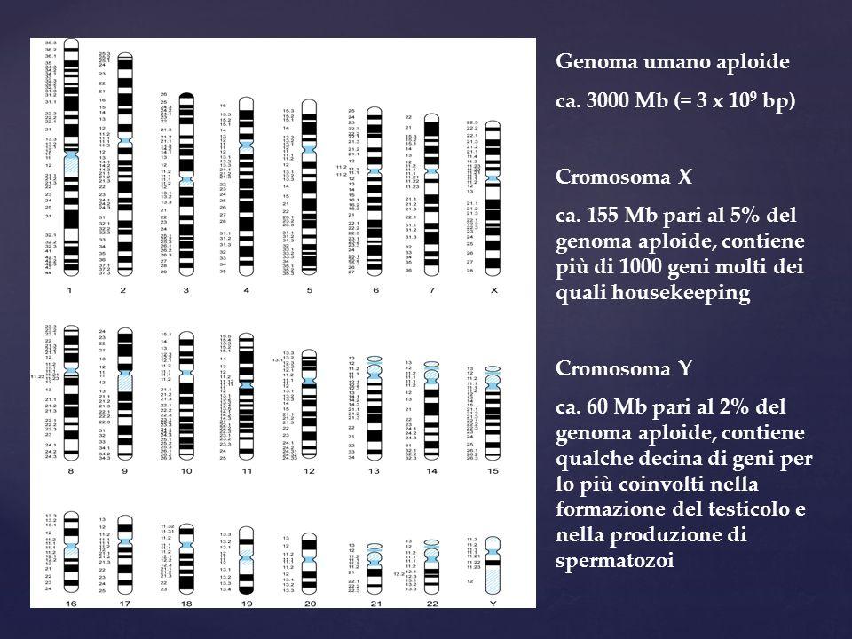 Genoma umano aploide ca. 3000 Mb (= 3 x 109 bp) Cromosoma X.