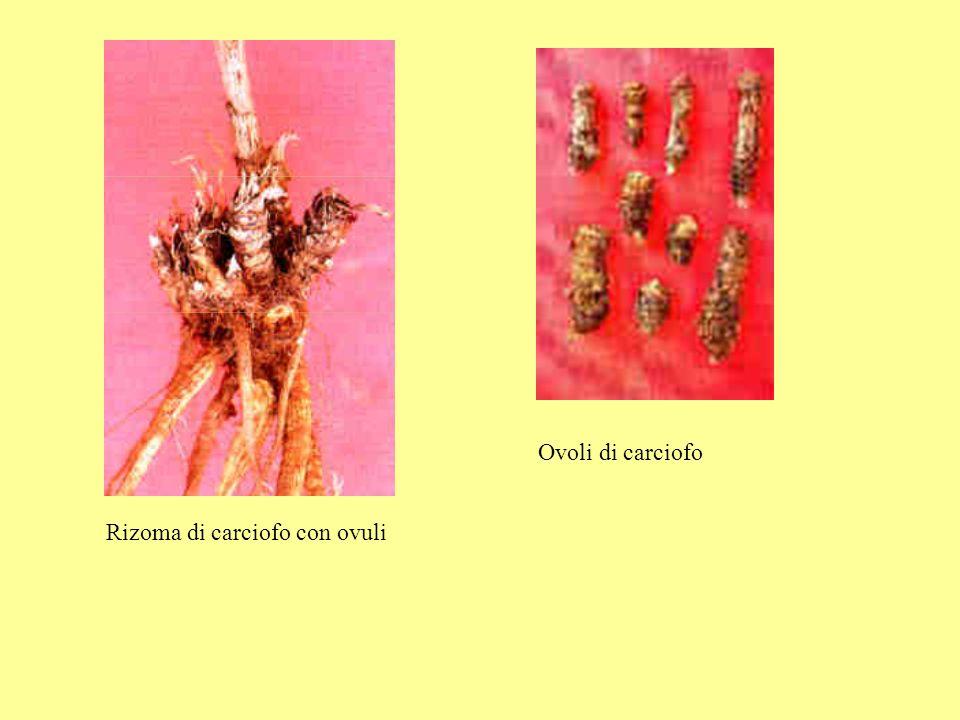 Ovoli di carciofo Rizoma di carciofo con ovuli