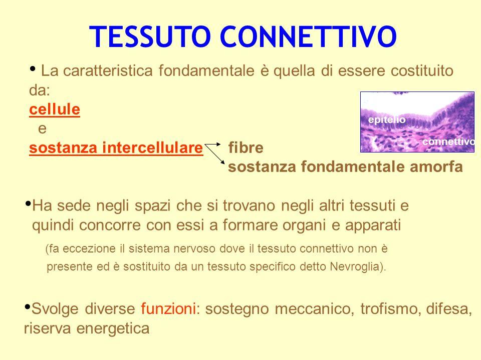 TESSUTO CONNETTIVO La caratteristica fondamentale è quella di essere costituito da: cellule. e. sostanza intercellulare fibre.
