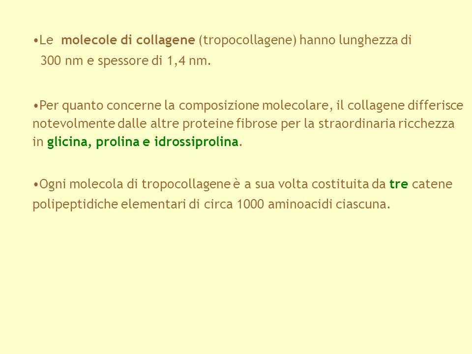 Le molecole di collagene (tropocollagene) hanno lunghezza di