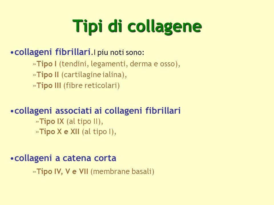 Tipi di collagene collageni fibrillari.I piu noti sono: