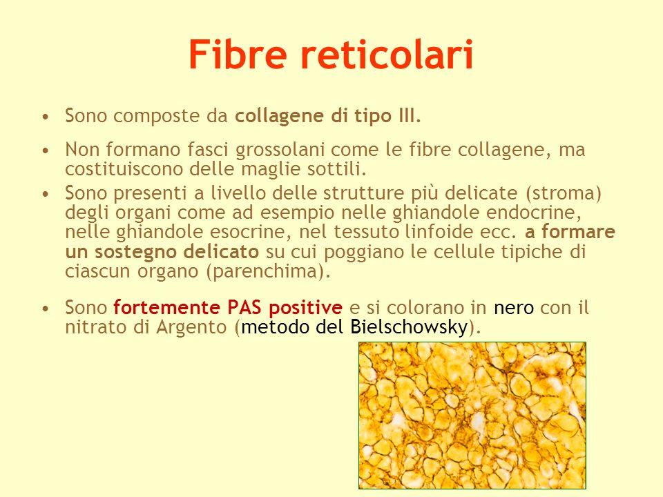 Fibre reticolari Sono composte da collagene di tipo III.