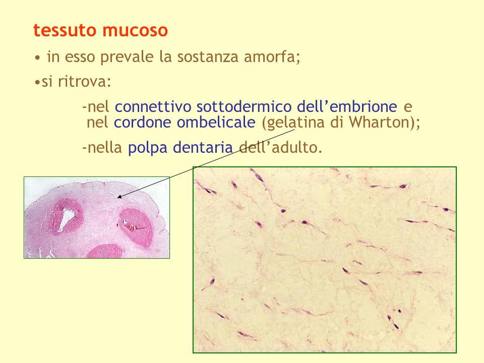 tessuto mucoso in esso prevale la sostanza amorfa; si ritrova: