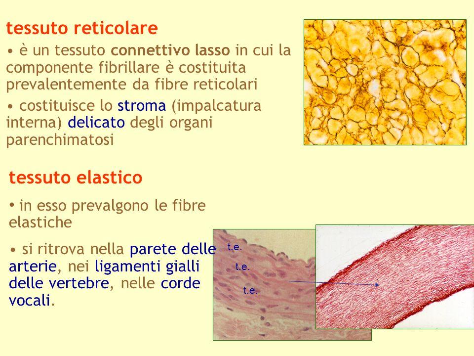 tessuto reticolare tessuto elastico