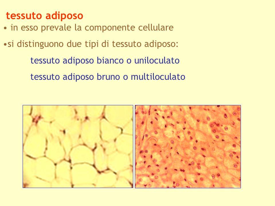 tessuto adiposo in esso prevale la componente cellulare