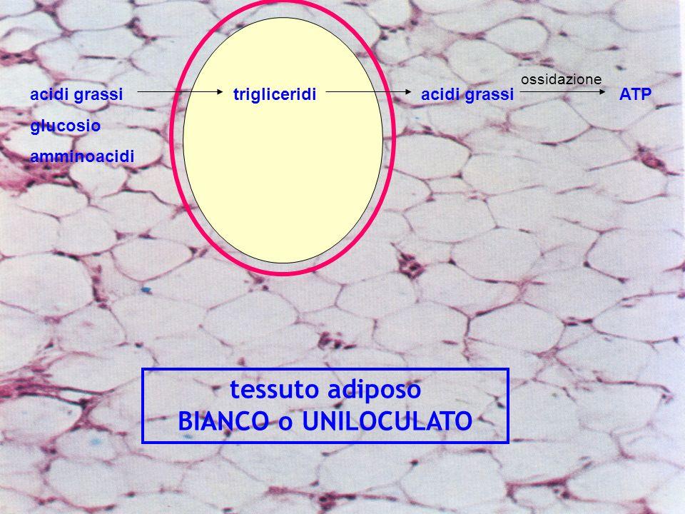 tessuto adiposo BIANCO o UNILOCULATO