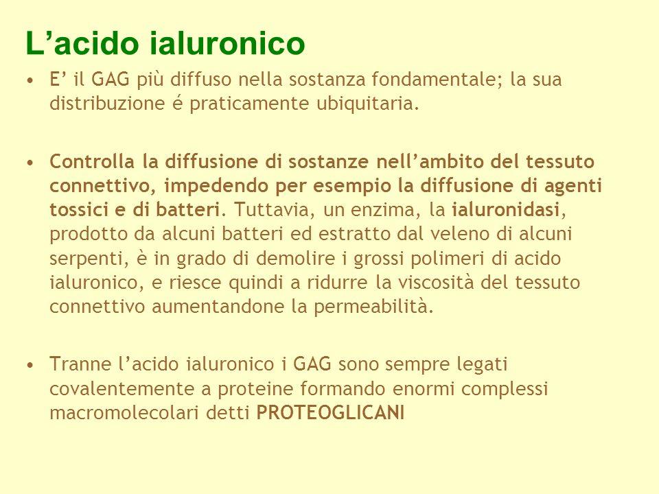 L'acido ialuronico E' il GAG più diffuso nella sostanza fondamentale; la sua distribuzione é praticamente ubiquitaria.