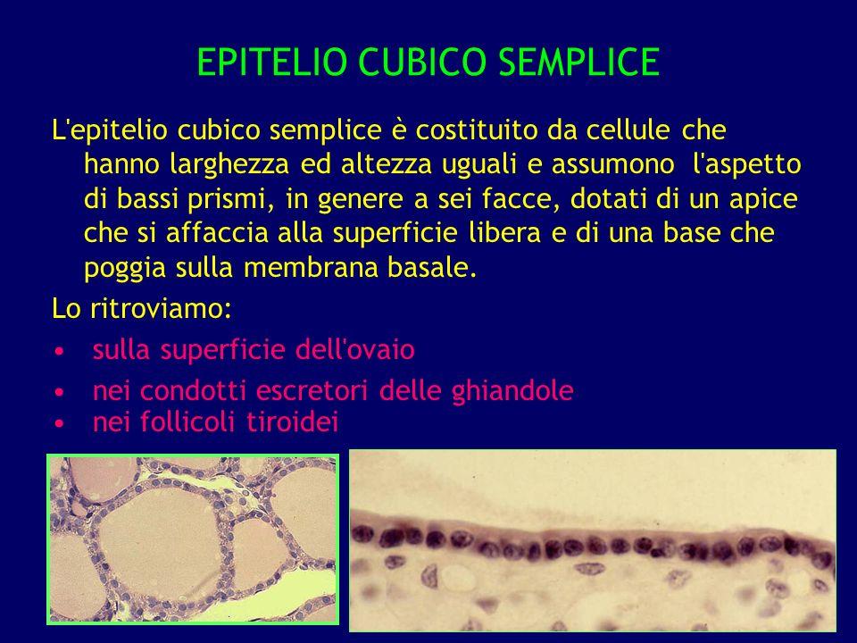 EPITELIO CUBICO SEMPLICE