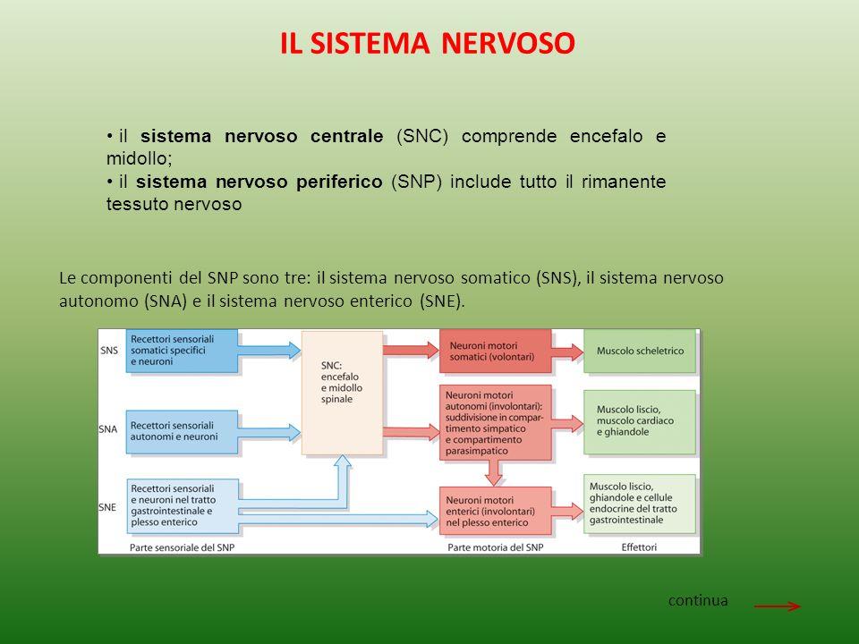 IL SISTEMA NERVOSO il sistema nervoso centrale (SNC) comprende encefalo e midollo;