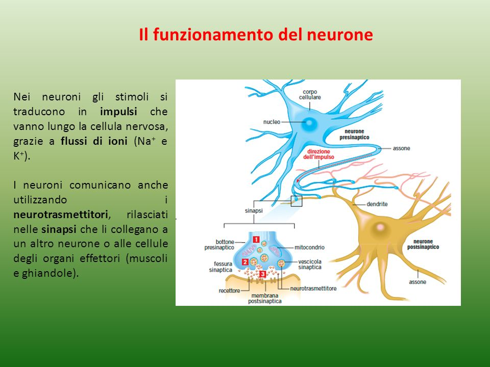 Il funzionamento del neurone