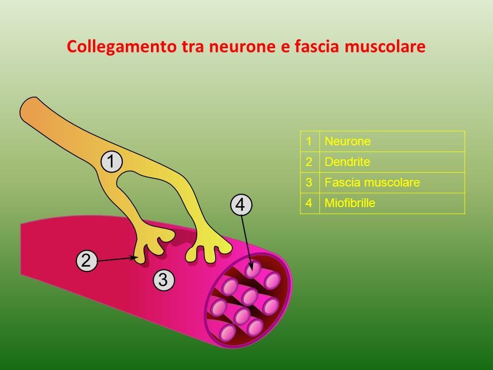 Collegamento tra neurone e fascia muscolare