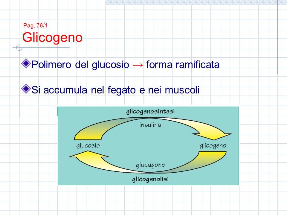 Polimero del glucosio → forma ramificata