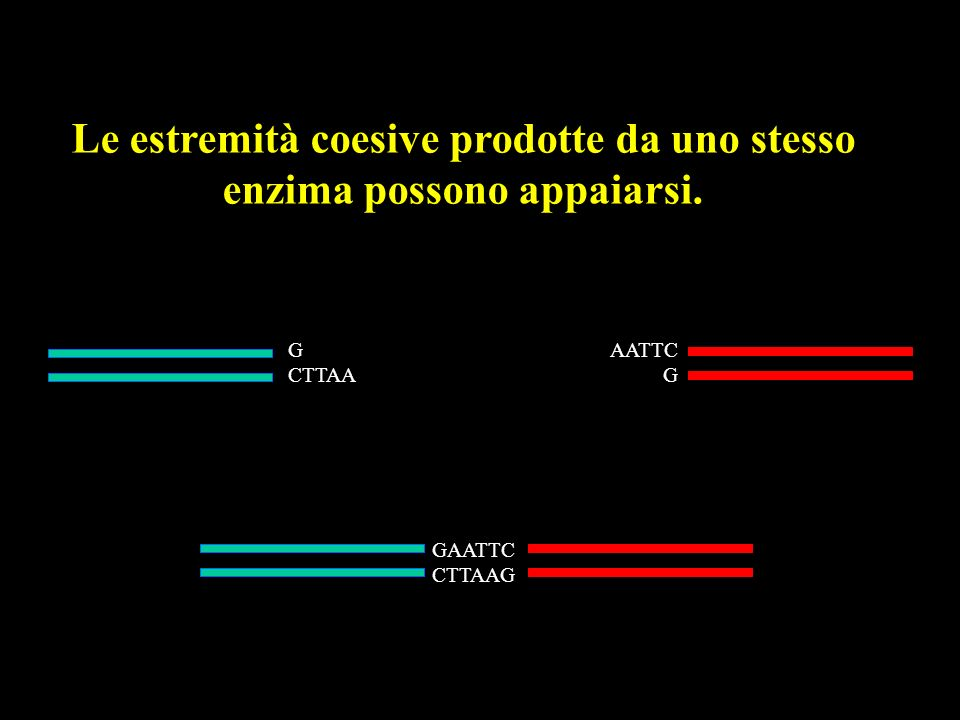 Le estremità coesive prodotte da uno stesso enzima possono appaiarsi.