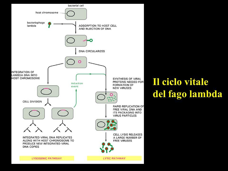 Il ciclo vitale del fago lambda