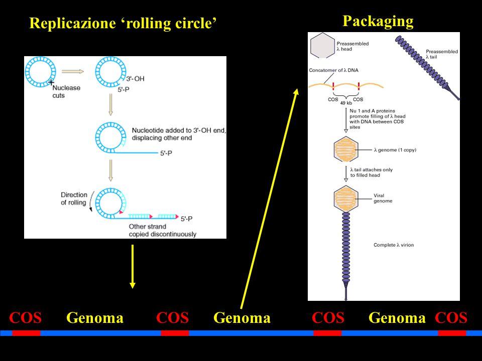 Replicazione 'rolling circle'