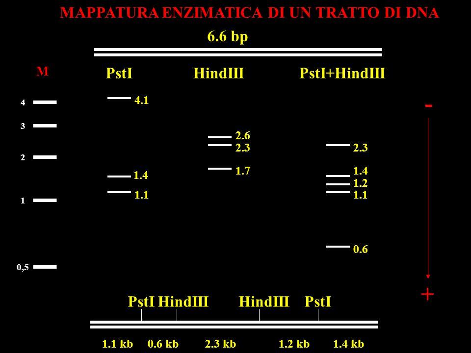 - + MAPPATURA ENZIMATICA DI UN TRATTO DI DNA 6.6 bp PstI HindIII