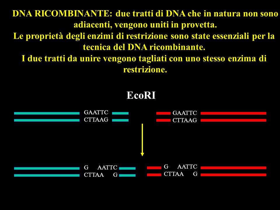 EcoRI DNA RICOMBINANTE: due tratti di DNA che in natura non sono