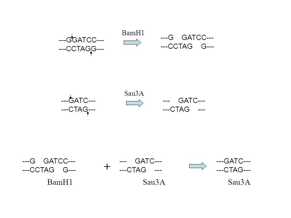 + BamH1 Sau3A Sau3A BamH1 ---G GATCC--- ---CCTAG G--- ---GGATCC---