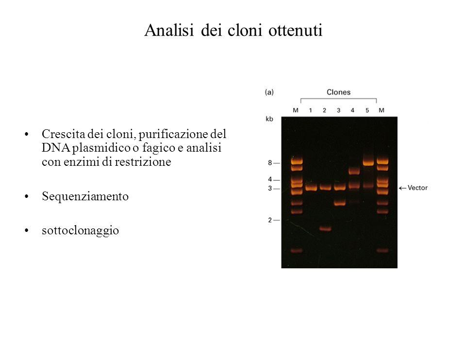 Analisi dei cloni ottenuti