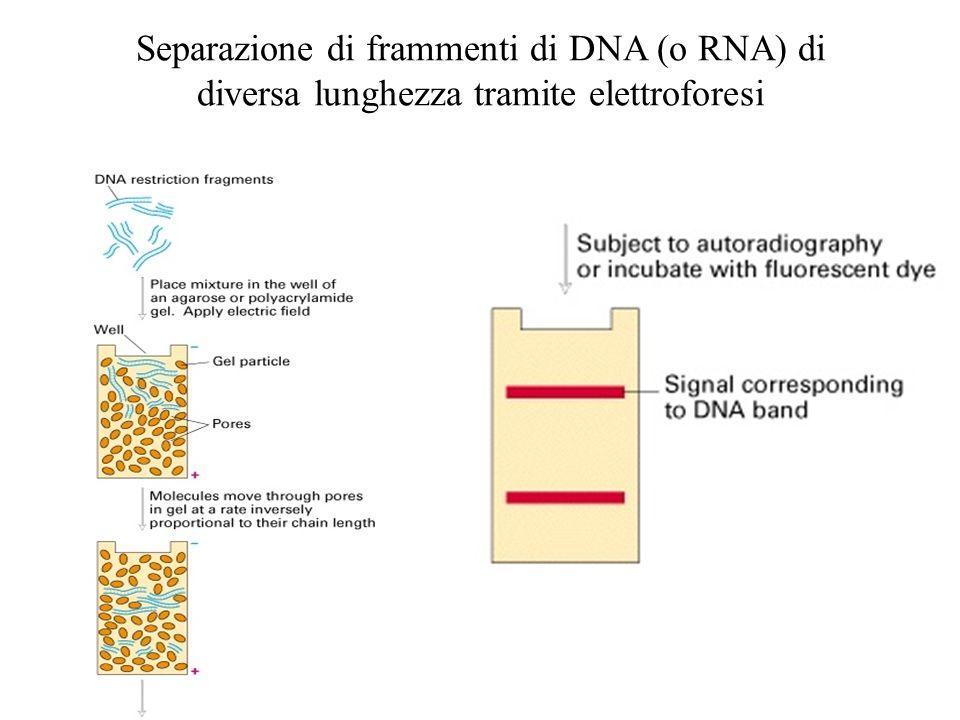 Separazione di frammenti di DNA (o RNA) di diversa lunghezza tramite elettroforesi