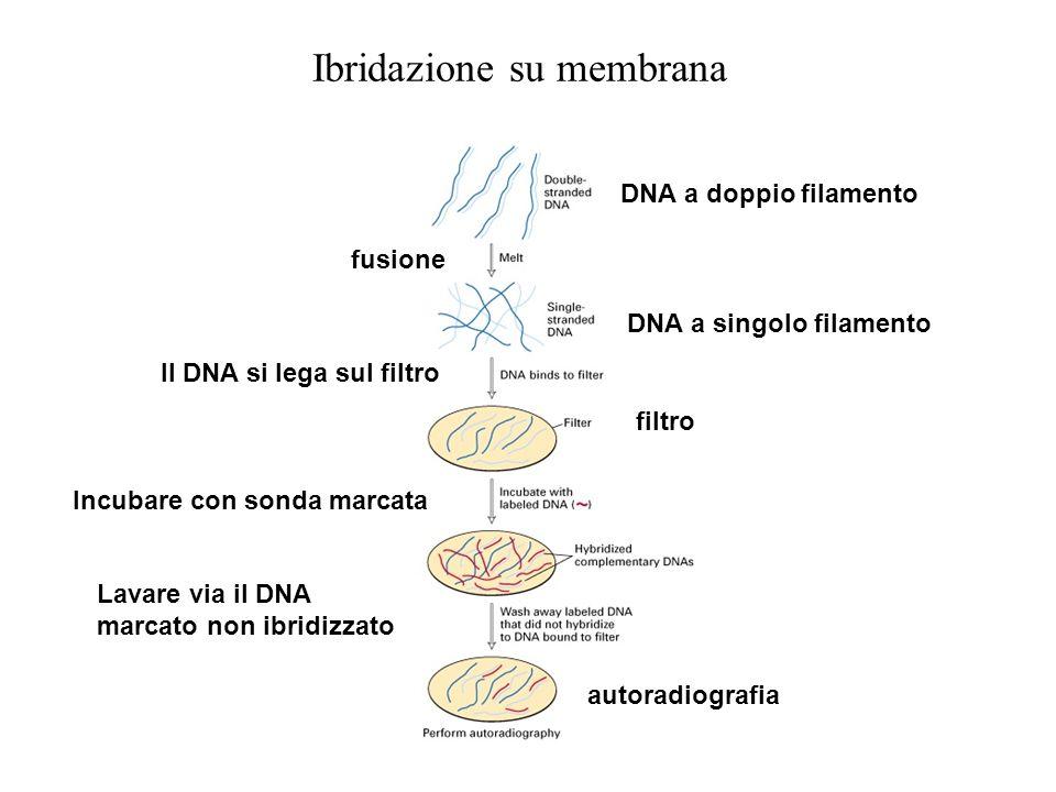 Ibridazione su membrana