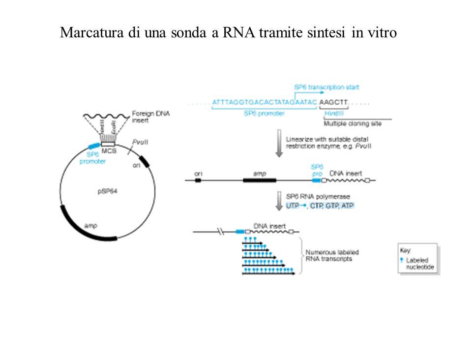 Marcatura di una sonda a RNA tramite sintesi in vitro